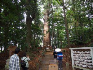 麻賀多神社 大杉